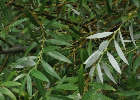 White willow / Salix alba – Arbor.bg